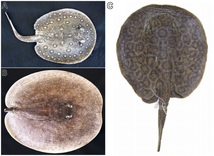 Three species of freshwater stingrays: Potamotrygon motoro, Paratrygon aiereba, and Potamotrygon marquesi.