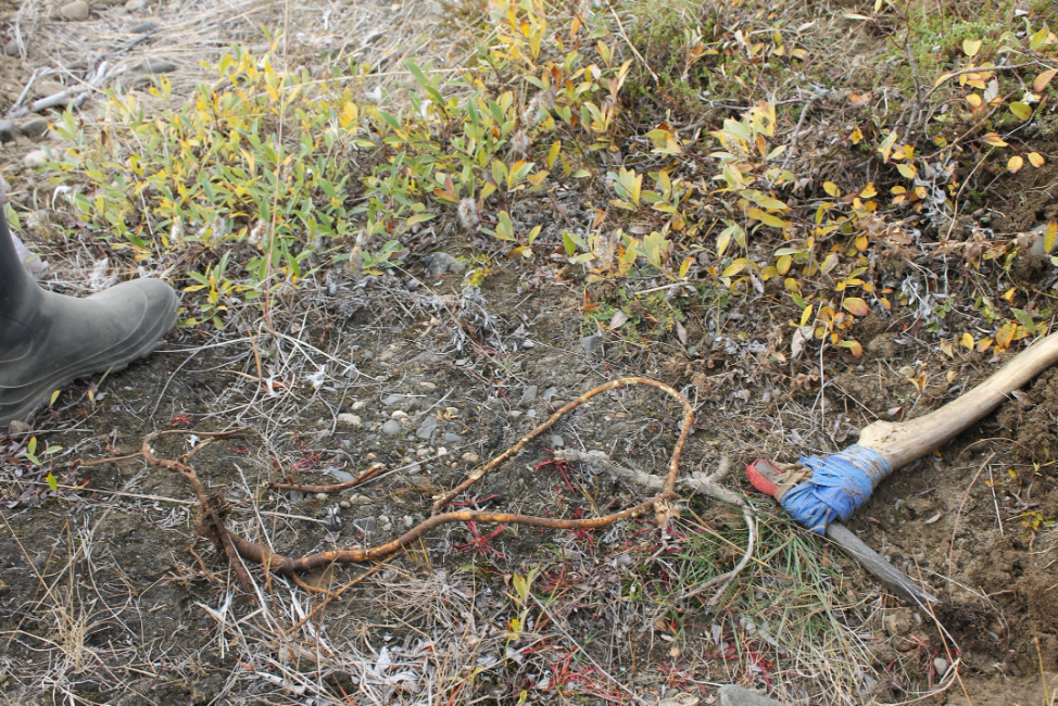 """Digging for H. hedysaroides in Lorino. This species, reported as an important """"mouse root,"""" is now more commonly gathered by hand. Photo by Kevin Jernigan."""