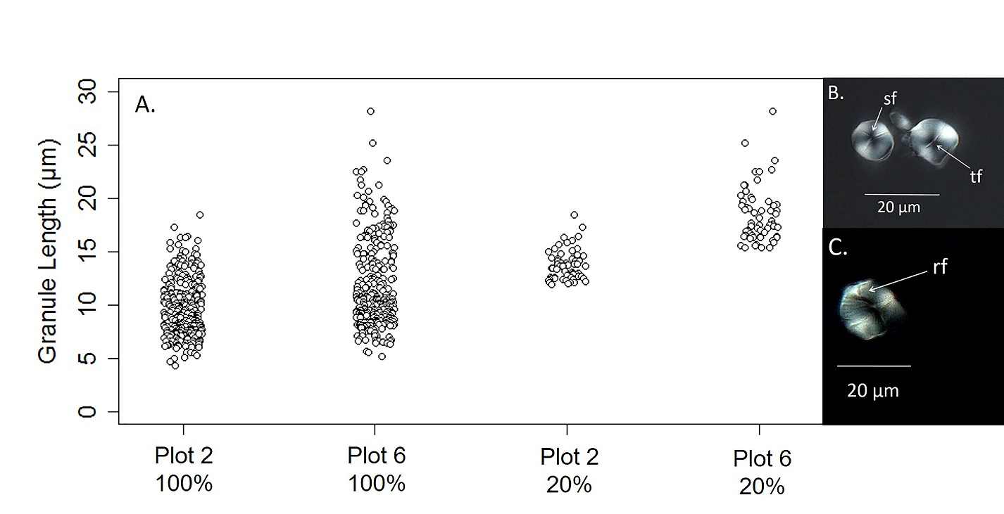Figure 3 A  Starch granule size distributions of pooled samples (100%) from Plot 2 (n = 310) and Plot 6 (n = 310). Size distributions for the upper 20%, both plots (n = 62). Comparisons between distributions from each sample fraction were significantly different (p < 0.0001). (Right) Morphological attributes (Nomarski optics, DIC) include B sf = three-armed stellate fissure radiating from the hilum on an irregular granule from Plot 6, tf = transverse fissure dissecting the hilum and extending toward the margin of an irregular-shaped granule from Plot 6 and C rf = radial fissure radiating from the hilum to the margin of an irregular-shaped granule from Plot 6.