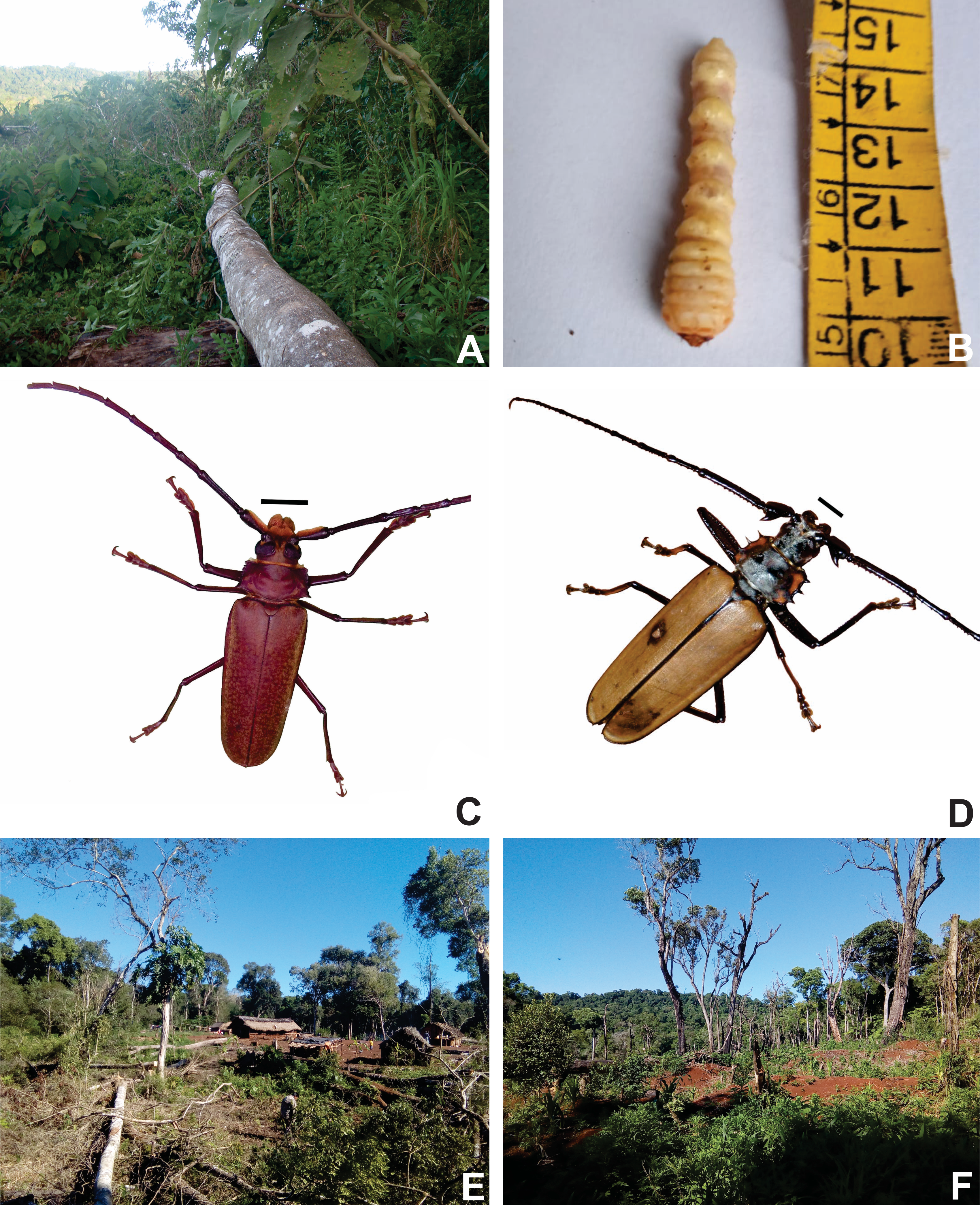 Figure 2 A Tree specimen of yvyra ñechĩ, (Balfourodendron ridelianum) felled for larval production. B ycho akambe edible cerambiciform larva. C Orthomegas jaspideus (scale-1 cm). D Male adult insect Enoplocereus armillatus (scale-1 cm). E Preparation of the land for agriculture. F Growing area.